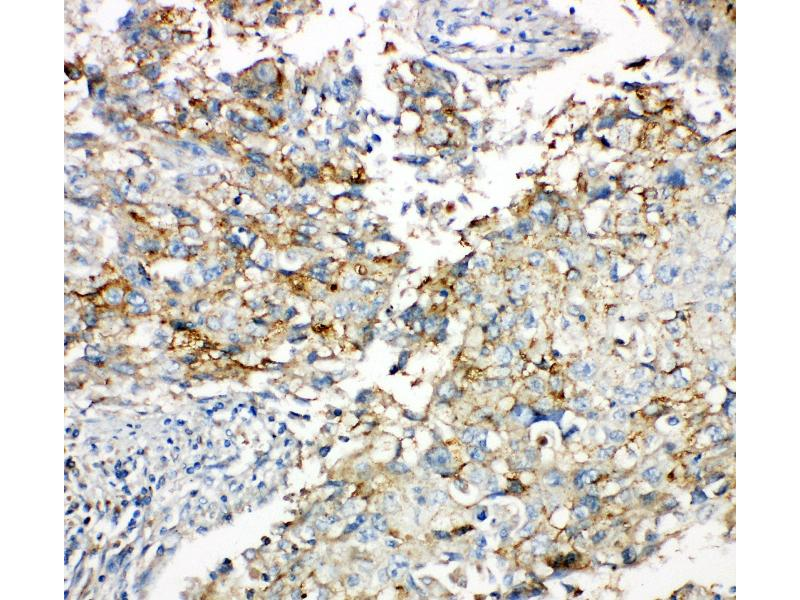 Immunohistochemistry (IHC) image for anti-GJA1 antibody (Gap Junction Protein, alpha 1, 43kDa) (AA 351-367) (ABIN3043758)
