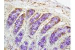 Immunohistochemistry (Paraffin-embedded Sections) (IHC (p)) image for anti-Drought-Repressed 4 Protein (DR4) (AA 420-468) antibody (ABIN670581)