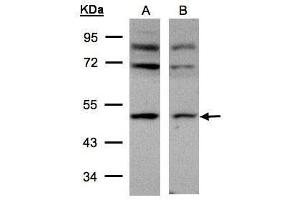 Image no. 2 for anti-Adaptor-Related Protein Complex 2, mu 1 Subunit (AP2M1) (Center) antibody (ABIN2855071)