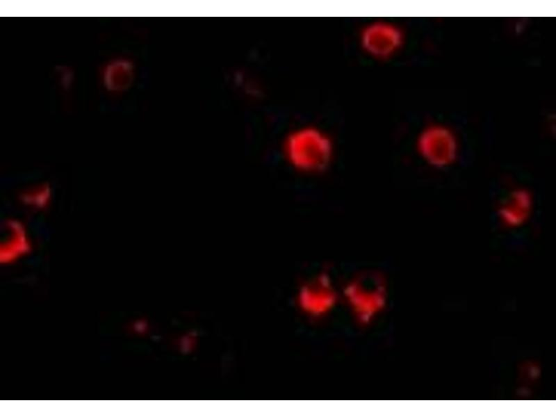 Immunofluorescence (IF) image for anti-AES antibody (Amino-terminal Enhancer of Split) (N-Term) (ABIN2155083)