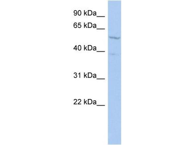 Western Blotting (WB) image for anti-REST Corepressor 1 (RCOR1) (Middle Region) antibody (ABIN2775735)