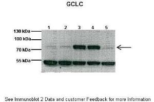Image no. 5 for anti-Glutamate-Cysteine Ligase, Catalytic Subunit (GCLC) (N-Term) antibody (ABIN2774078)