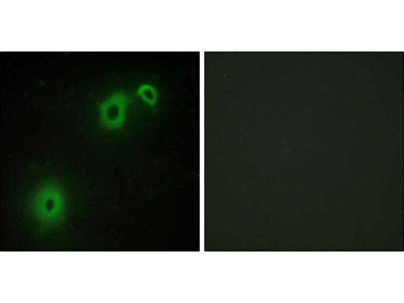 Immunofluorescence (IF) image for anti-NGFR antibody (Nerve Growth Factor Receptor) (ABIN2449163)