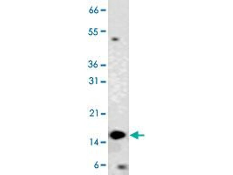 Western Blotting (WB) image for anti-Cytochrome C, Somatic (CYCS) antibody (ABIN5576318)