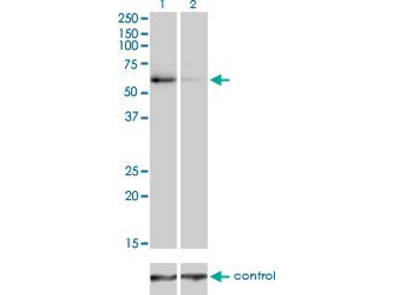 Western Blotting (WB) image for anti-TRAF6 antibody (TNF Receptor-Associated Factor 6) (AA 413-522) (ABIN521096)
