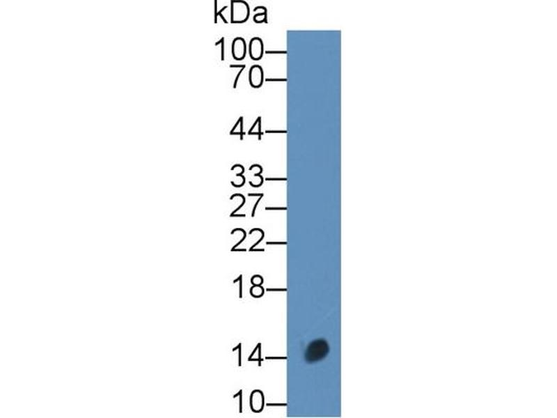 Western Blotting (WB) image for anti-Calcitonin-Related Polypeptide alpha (CALCA) (AA 1-134) antibody (ABIN1858390)
