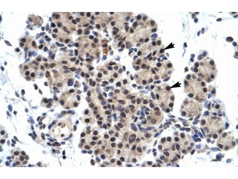 Immunohistochemistry (IHC) image for anti-Zinc Finger Protein 318 (Znf318) (N-Term) antibody (ABIN2779696)