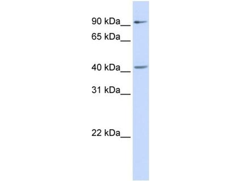 Western Blotting (WB) image for anti-SRY (Sex Determining Region Y)-Box 17 (SOX17) (Middle Region) antibody (ABIN405250)