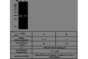 Image no. 2 for anti-Carbonic Anhydrase XIII (CA13) (AA 1-262) antibody (ABIN1996865)