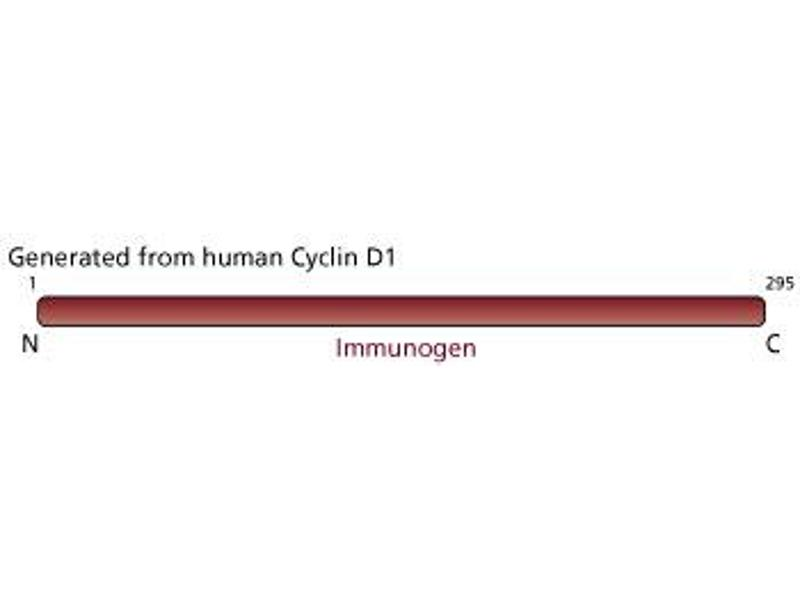 image for anti-Cyclin D1 antibody (CCND1) (full length) (ABIN967539)