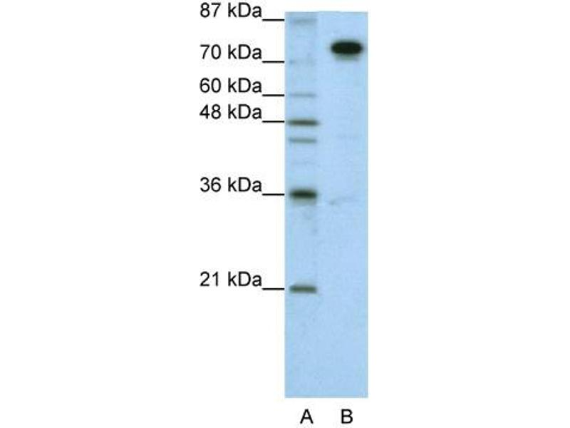 Western Blotting (WB) image for anti-Splicing Factor Proline/glutamine-Ric (SFPQ) (N-Term) antibody (ABIN183984)