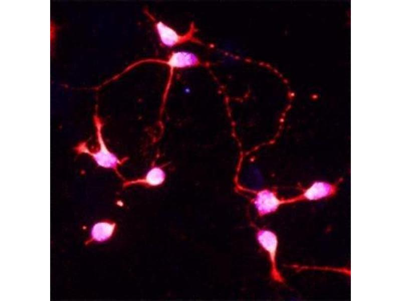 Immunofluorescence (IF) image for anti-Brain-Derived Neurotrophic Factor (BDNF) antibody (ABIN409162)