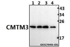 Image no. 1 for anti-CKLF-Like MARVEL Transmembrane Domain Containing 3 (CMTM3) antibody (ABIN6711161)