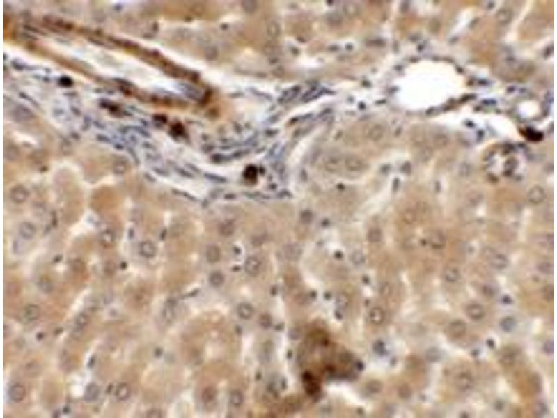 Immunohistochemistry (Paraffin-embedded Sections) (IHC (p)) image for anti-Intermediate Filament Tail Domain Containing 1 (IFLTD1) (Middle Region) antibody (ABIN1450045)