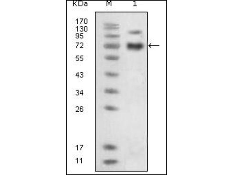 Western Blotting (WB) image for anti-EPH Receptor B4 antibody (EPHB4) (Extracellular Domain) (ABIN614445)