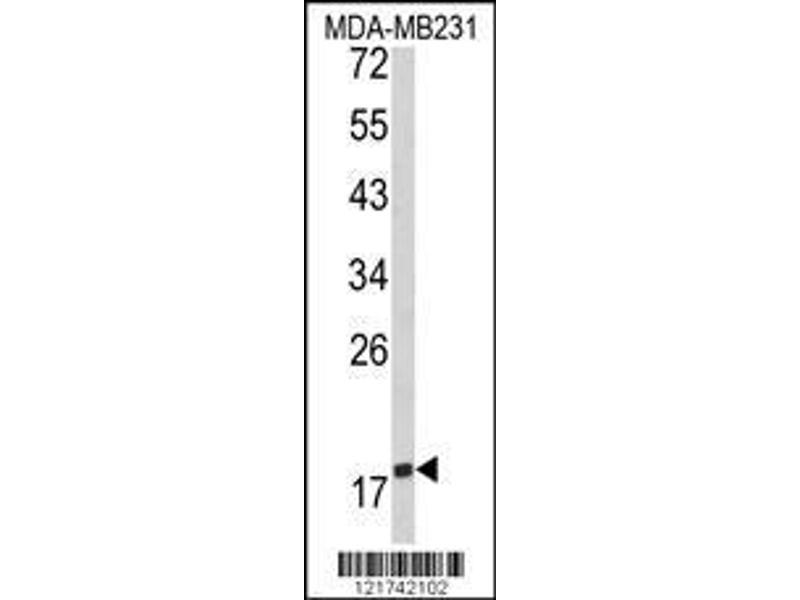 Western Blotting (WB) image for anti-CD28 (CD28) (AA 182-208), (C-Term) antibody (ABIN390970)