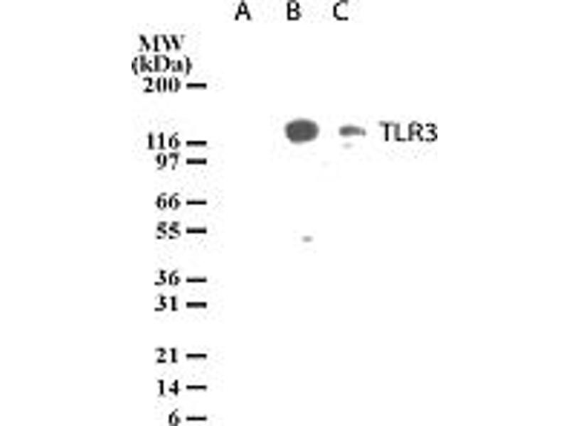 image for anti-Toll-Like Receptor 3 (TLR3) (AA 55-70) antibody (ABIN208035)