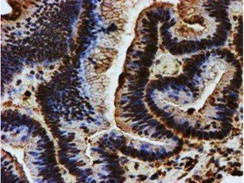 Immunohistochemistry (Paraffin-embedded Sections) (IHC (p)) image for anti-Endonuclease G antibody (ENDOG) (ABIN4308036)