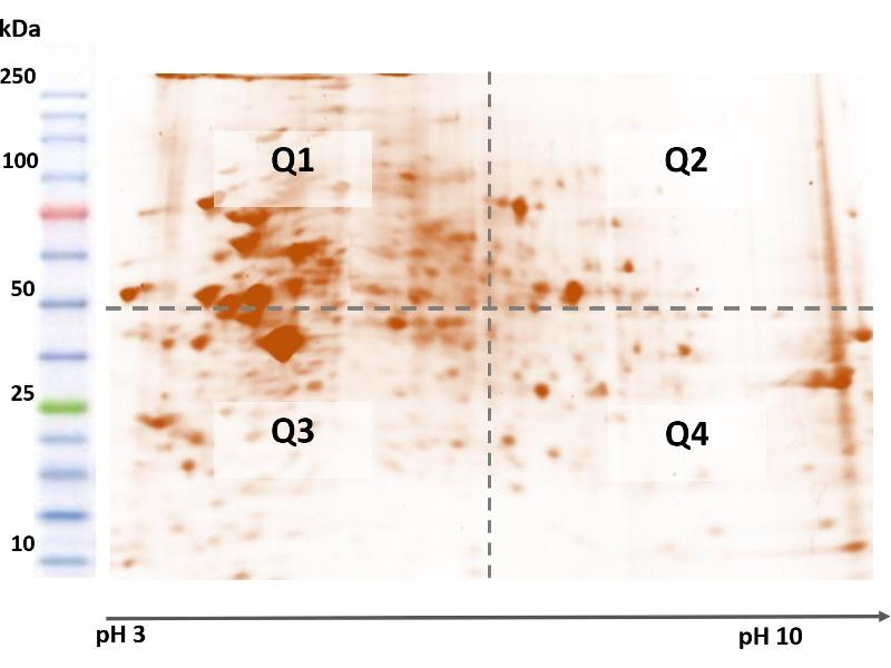 Two Dimensional Polyacrylamide Gel Electrophoresis (2D-PAGE) image for BioQuantiPro™ CHO HCP ELISA Kit (ABIN6254804)