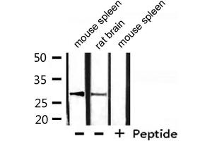 Image no. 2 for anti-Hydroxysteroid (17-Beta) Dehydrogenase 10 (HSD17B10) (AA 253-527) antibody (ABIN6267742)