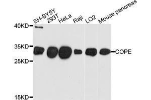 Image no. 1 for anti-Coatomer Protein Complex, Subunit epsilon (COPE) antibody (ABIN6566757)