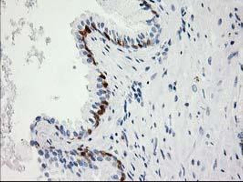 Image no. 6 for anti-Hydroxyprostaglandin Dehydrogenase 15-(NAD) (HPGD) antibody (ABIN1496363)