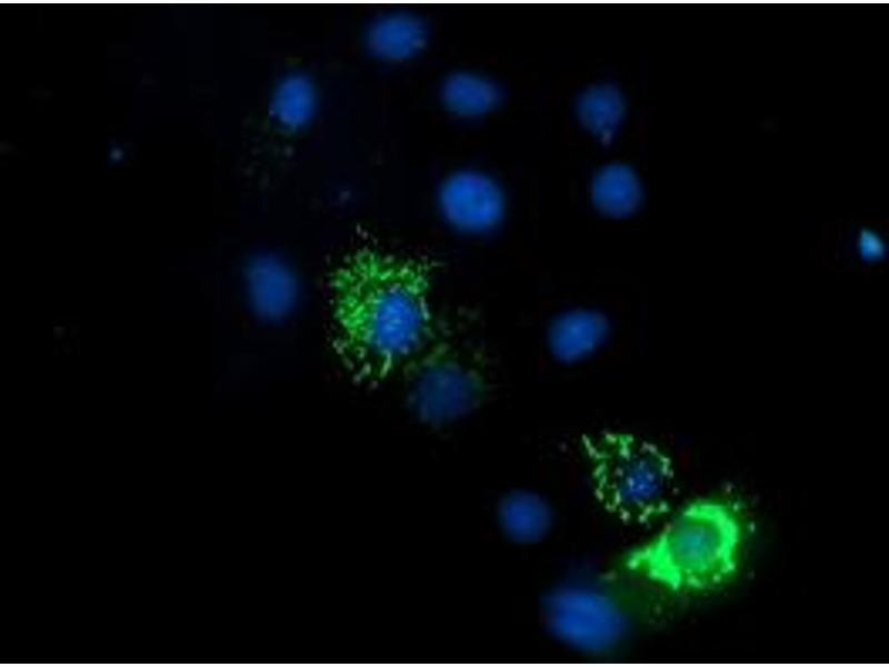 Immunofluorescence (IF) image for anti-Endonuclease G antibody (ENDOG) (ABIN2455482)
