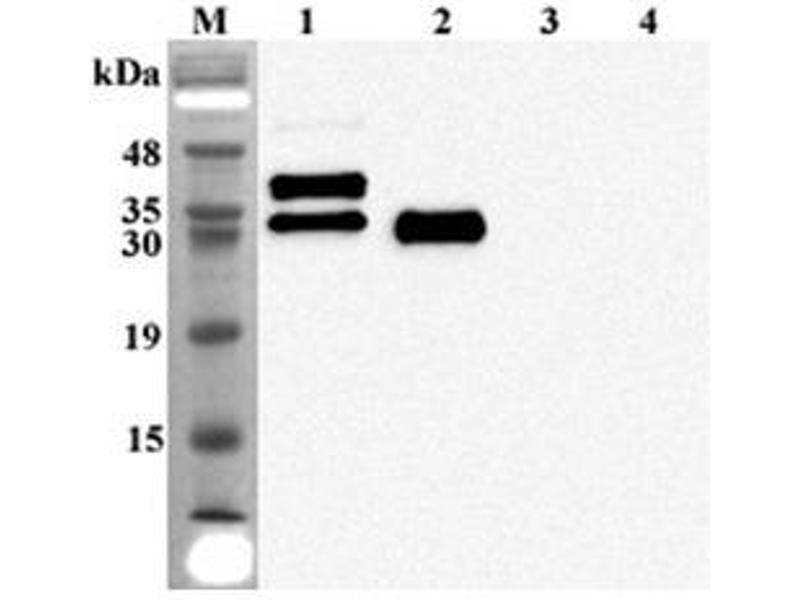 Western Blotting (WB) image for anti-FGF23 antibody (Fibroblast Growth Factor 23) (ABIN1169432)