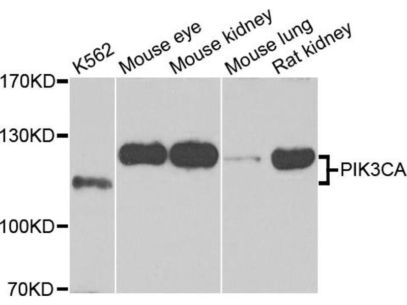 Image no. 2 for anti-Phosphoinositide-3-Kinase, Catalytic, alpha Polypeptide (PIK3CA) antibody (ABIN6566545)