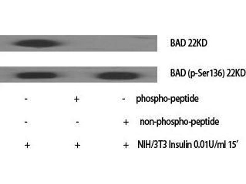 Western Blotting (WB) image for anti-BAD antibody (BCL2-Associated Agonist of Cell Death) (Ser164) (ABIN3183466)
