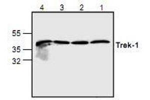 Image no. 1 for anti-Potassium Channel, Subfamily K, Member 2 (KCNK2) antibody (ABIN223505)