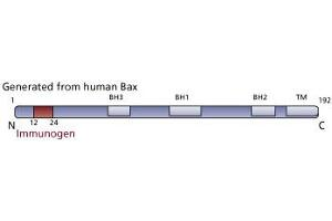 image for anti-BAX antibody (BCL2-Associated X Protein) (N-Term) (ABIN967537)