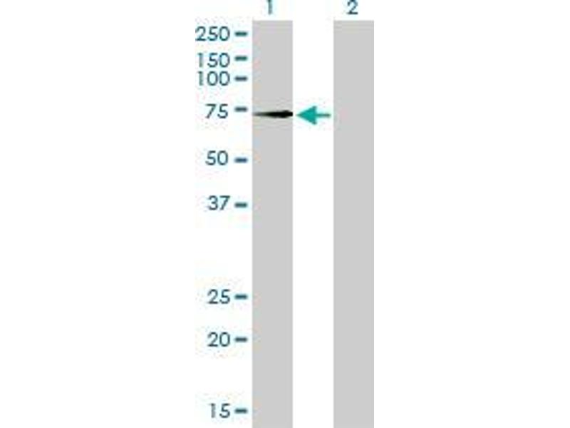 Western Blotting (WB) image for anti-Toll-Like Receptor 4 (TLR4) (AA 214-292) antibody (ABIN395246)