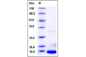 Image no. 1 for S100 Calcium Binding Protein A5 (S100A5) (AA 1-110) protein (His tag) (ABIN2004010)