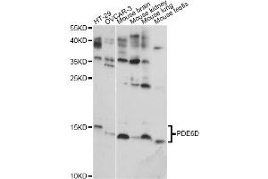 Image no. 1 for anti-phosphodiesterase 6D, CGMP-Specific, Rod, delta (PDE6D) antibody (ABIN6568467)
