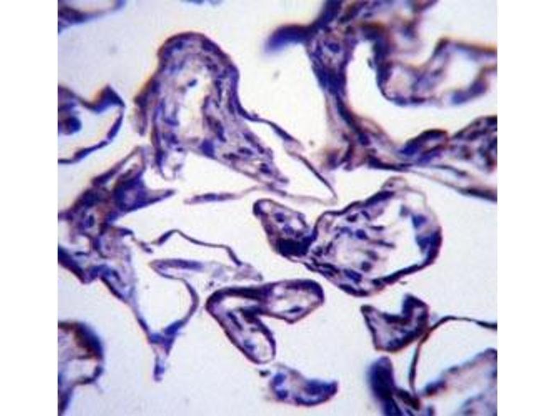Immunohistochemistry (IHC) image for anti-Leptin (LEP) (AA 8-37) antibody (ABIN3031600)