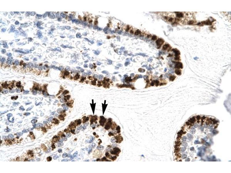 Immunohistochemistry (IHC) image for anti-E2F Transcription Factor 4, P107/p130-Binding (E2F4) (C-Term) antibody (ABIN2777218)