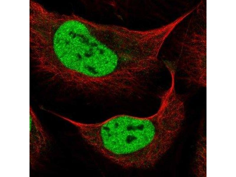 Immunofluorescence (IF) image for anti-Zinc Finger Homeobox 3 (ZFHX3) antibody (ABIN4281960)