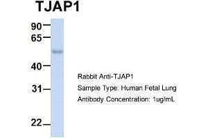 Image no. 2 for anti-Tight Junction Associated Protein 1 (Peripheral) (TJAP1) (N-Term) antibody (ABIN2775634)