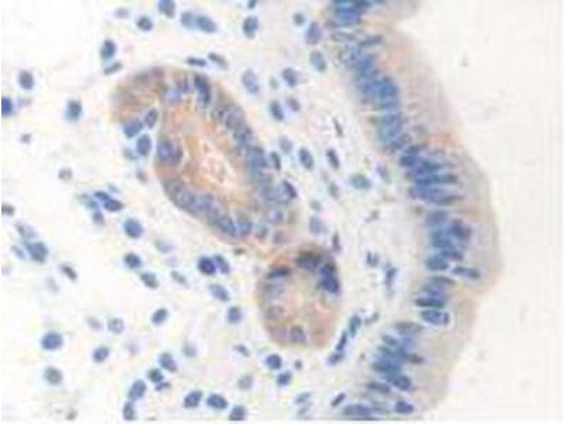 Immunohistochemistry (Paraffin-embedded Sections) (IHC (p)) image for anti-Nitric Oxide Synthase 1, Neuronal (NOS1) (AA 53-247) antibody (ABIN2917297)