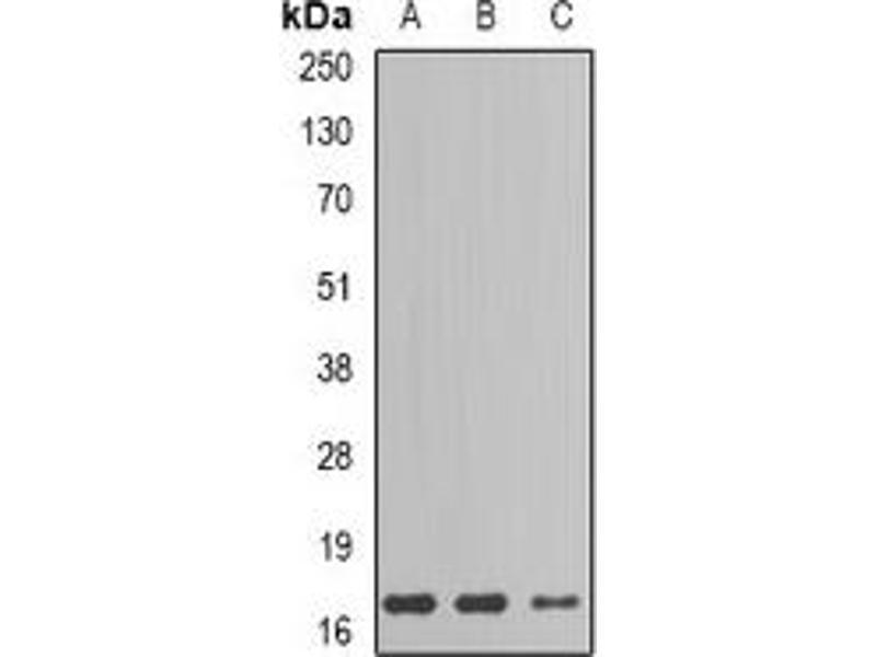 Western Blotting (WB) image for anti-Gastric Inhibitory Polypeptide (GIP) antibody (ABIN2966667)