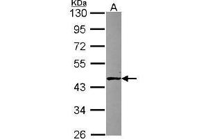 Image no. 1 for anti-AlkB, Alkylation Repair Homolog 1 (E. Coli) (ALKBH) (Center) antibody (ABIN2856987)