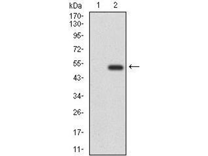 Western Blotting (WB) image for anti-CD6 antibody (CD6) (AA 472-668) (ABIN1098118)