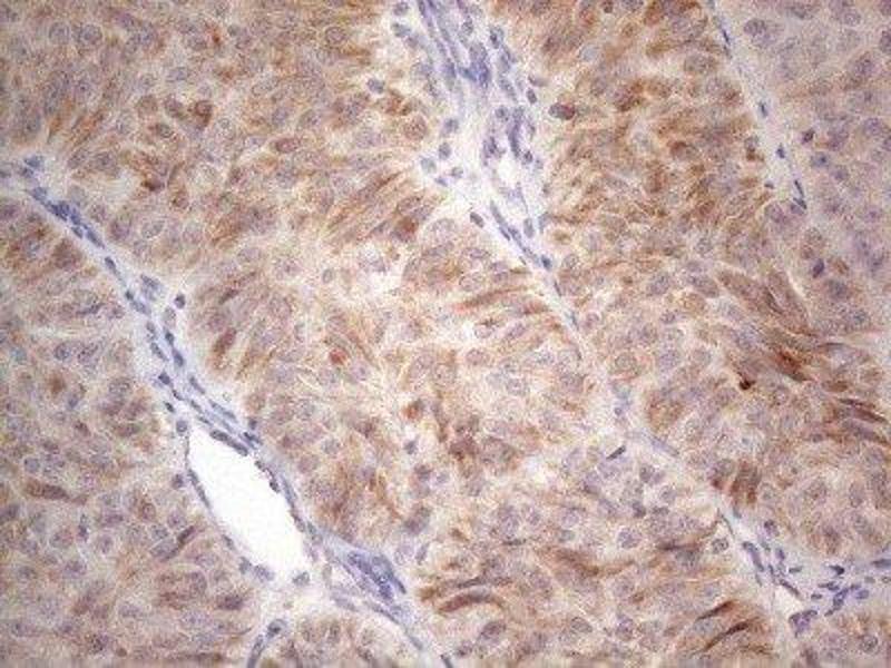 Immunohistochemistry (IHC) image for anti-RAR-Related Orphan Receptor B (RORB) antibody (ABIN4350953)