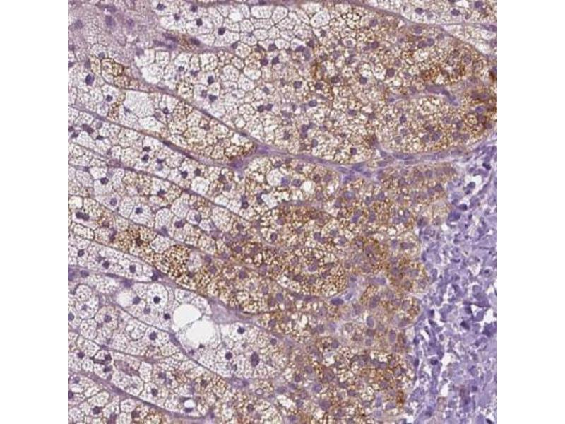 Immunohistochemistry (Paraffin-embedded Sections) (IHC (p)) image for anti-Mucolipin 3 (Mcoln3) antibody (ABIN4336725)