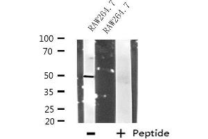 Image no. 1 for anti-Ring Finger Protein 14 (RNF14) antibody (ABIN6257647)