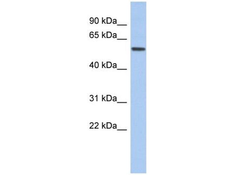 Western Blotting (WB) image for anti-Early B-Cell Factor 2 (EBF2) (Middle Region) antibody (ABIN501493)