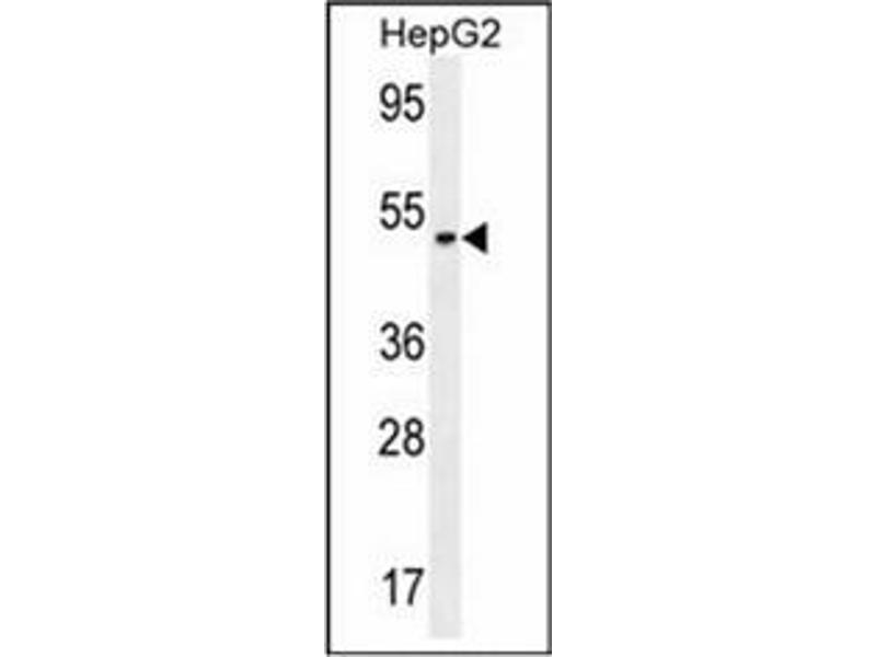 Western Blotting (WB) image for anti-serpin Peptidase Inhibitor, Clade I (neuroserpin), Member 1 (SERPINI1) (AA 26-53), (N-Term) antibody (ABIN953686)