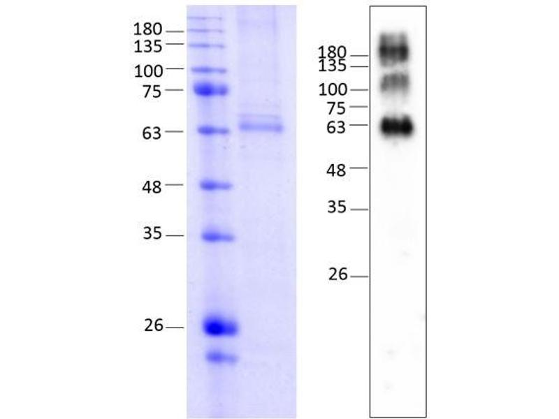 Western Blotting (WB) image for Melanocortin 4 Receptor (MC4R) (AA 1-332) protein (rho-1D4 tag) (ABIN3120493)