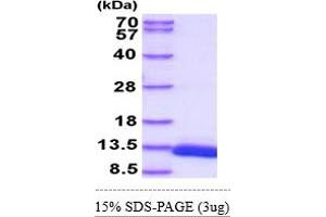 Image no. 1 for D-Dopachrome Tautomerase (DDT) (AA 1-118) protein (His tag) (ABIN5855100)